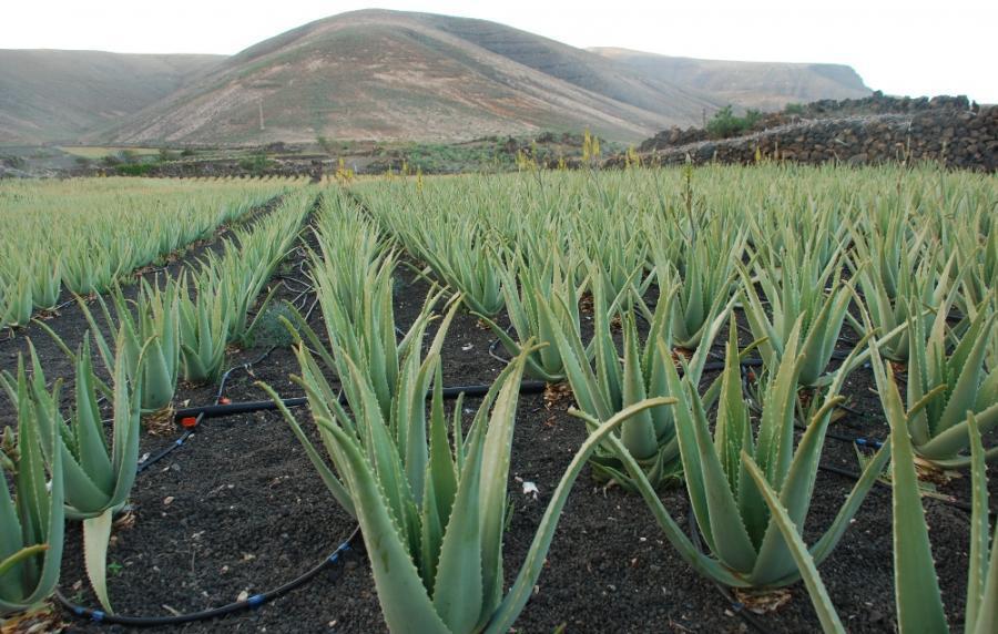 Forever Living Products является крупнейшей в мире компанией по выращиванию и распространению Алоэ Вера.